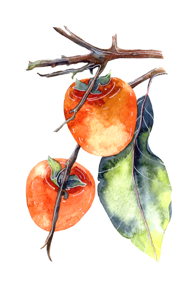 kisspng-persimmon-watercolor-painting-poster-illustration-watercolor-hanging-in-the-branches-of-a-persimmon-5a94938abab219.5581632315196865387647